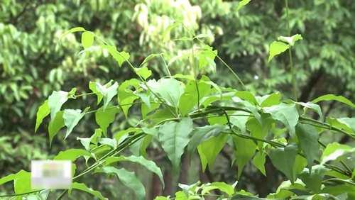 Ứng dụng của thảo dược chè vằng tự nhiên giảm cân hiệu quả