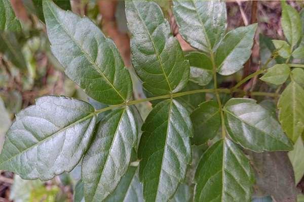 Công năng của chè dây rừng thiên nhiên chữa bệnh viêm dạ dày hiệu quả quận bình tân hcm