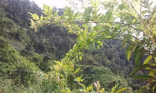 Tính năng của chè dây sapa rừng trị ợ hơi hiệu quả quận 8 tp hồ chí minh