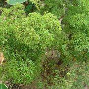 cây đinh lăng cây thuốc rừng