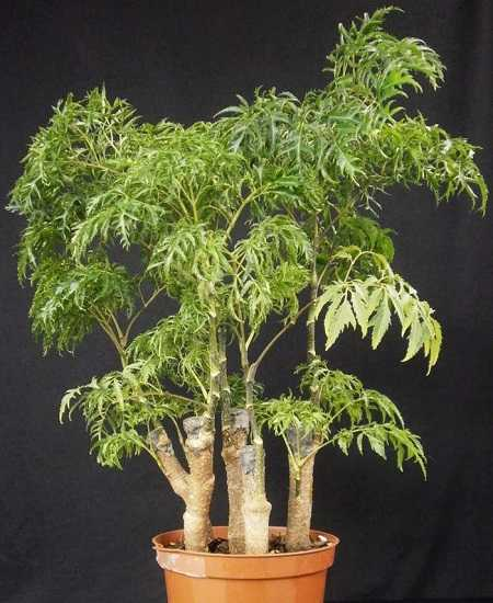 cây đinh lăng chữa bệnh gì