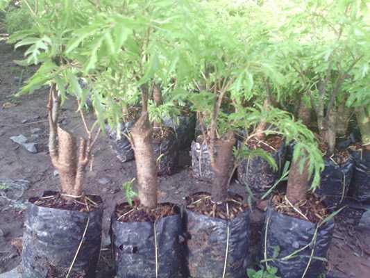 cây giống đinh lăng to và mập