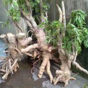 cây đinh lăng giá tốt
