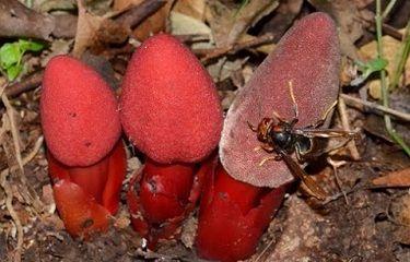 nấm ngọc cẩu tươi rừng