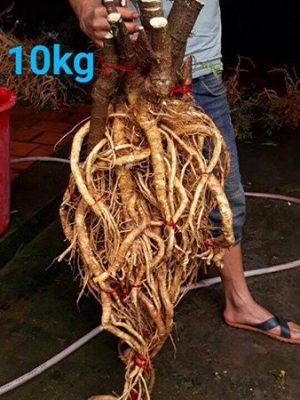 rễ đinh lăng đẹp
