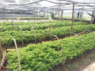 Vườn ươm với công suất 200 thiên/tháng của Nam Cang