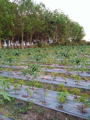 Vườn đinh lăng Nam Cang
