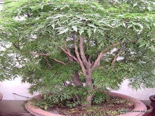 cây đinh lăng